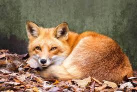 fox - Copy